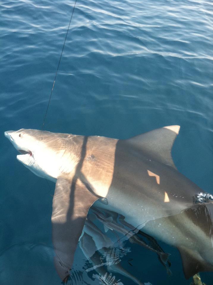 250 pound shark caught May 2012
