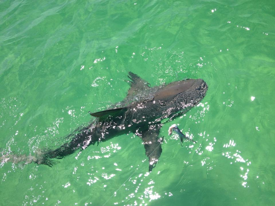 Destin shark fishing charter with reel deal charters for Fishing in destin fl